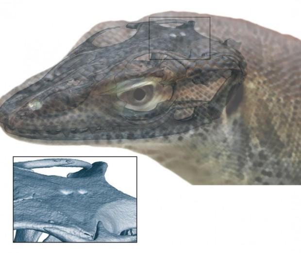 """Modelo 3D que reconstrói os dois novos """"olhos"""" descobertos no lagarto pré-histórico da espécie Saniwa ensidens (Foto: Senckenberg Gesellschaft für Naturforschung / Andreas Lachmann / Digimorph.org)"""