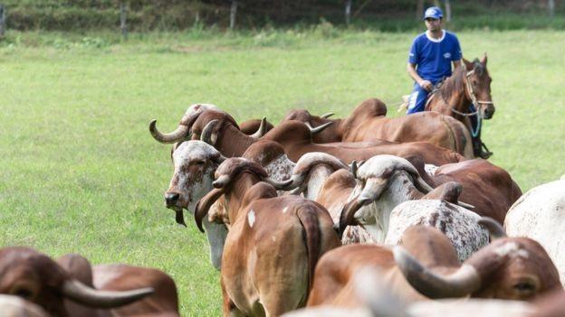 Gado Gir é o mais valorizado no mercado de embriões zebuínos, usado para criação da raça Girolando (Foto: Diego Padgurschi/BBC)