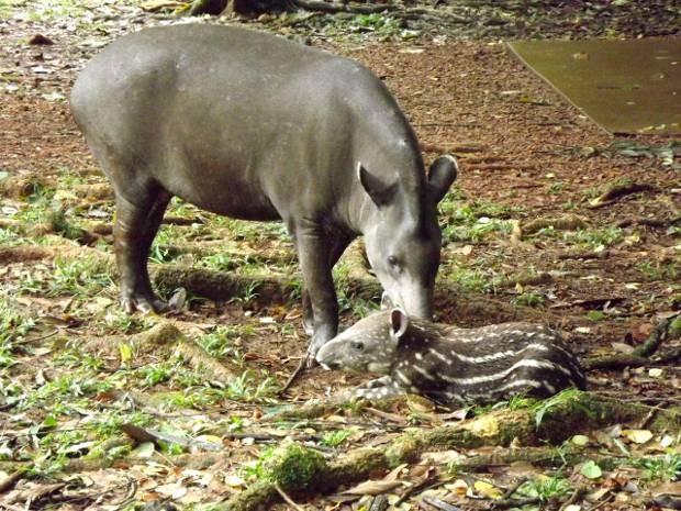 Mãe e filhote anta vivem soltos no Parque de Carajás. (Fot Divilgação/ Parque Zoobotânico Vale)