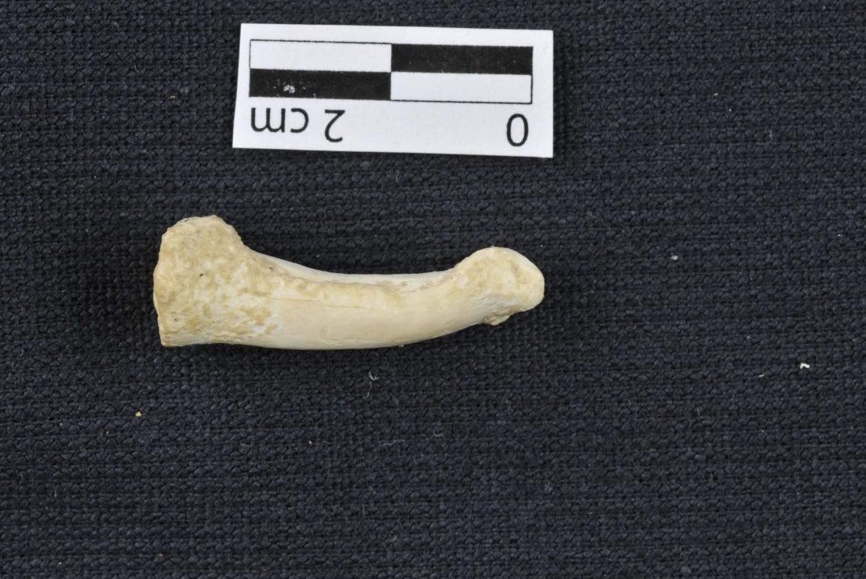 Um dos ossos encontrados em caverna das Filipinas (Foto: MNHN/ Divulgação)