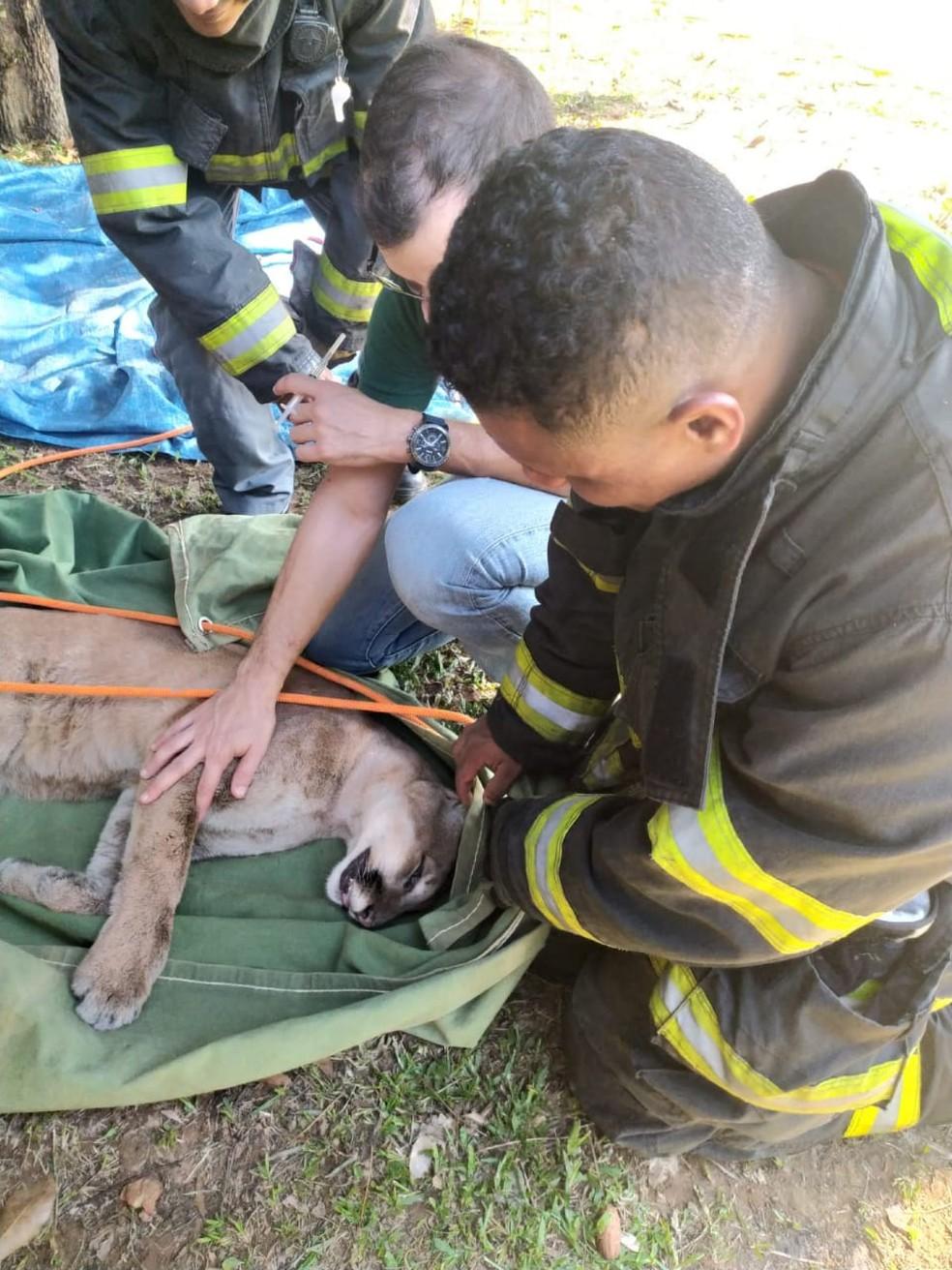 Especialistas avaliaram o felino depois da captura — Foto: Divulgação/Projeto Corredor das Onças