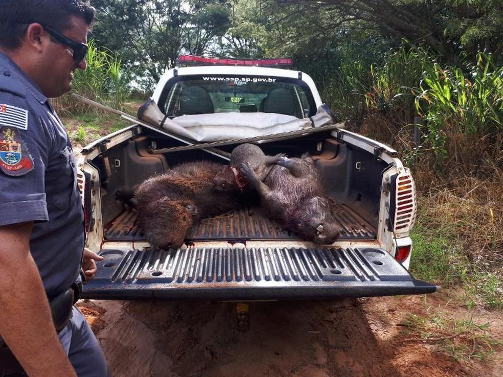 Capivaras abatidas foram apreendidas pela polícia em Itajobi (Foto: Divulgação/Polícia Ambiental)