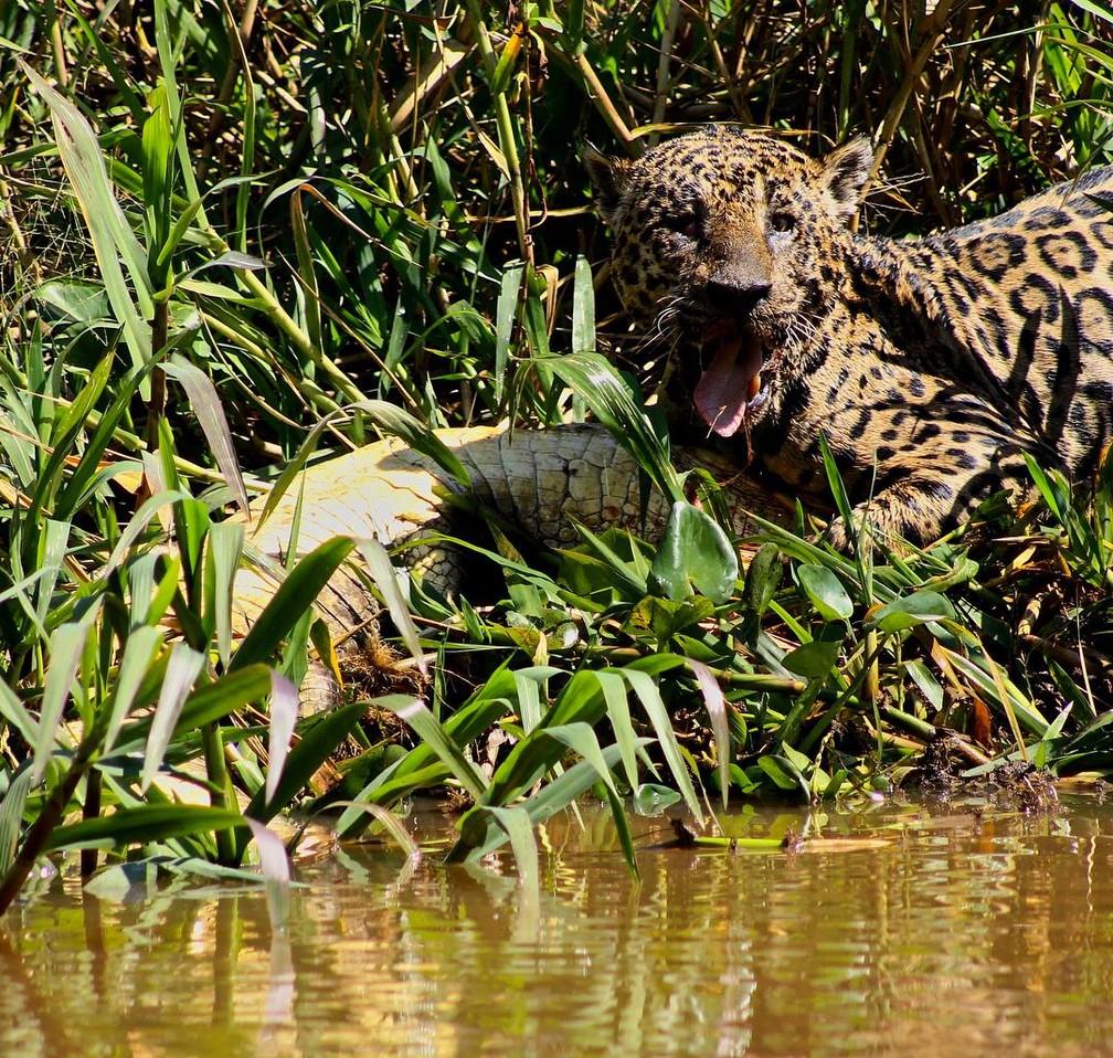 Mick Jaguar, também apelidado de Cegão ou Pirata, é uma onça-pintada que vive no Parque Estadual Encontro das Águas e, mesmo cego de um olho, é um exímio predador — Foto: Arquivo pessoal/Abigail Martin