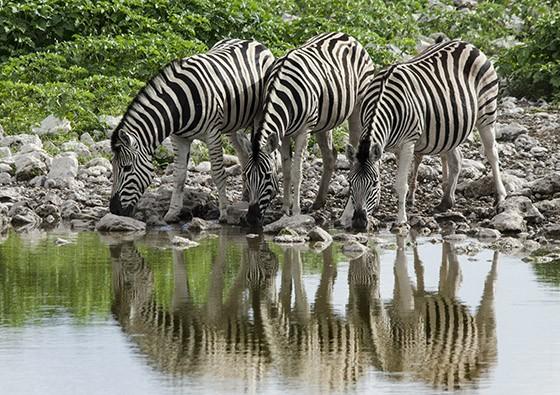 Existem cinco teorias sobre a existência das faixas brancas e pretas das zebras, mas nenhuma delas é definitiva (Foto: © Haroldo Castro/Época)