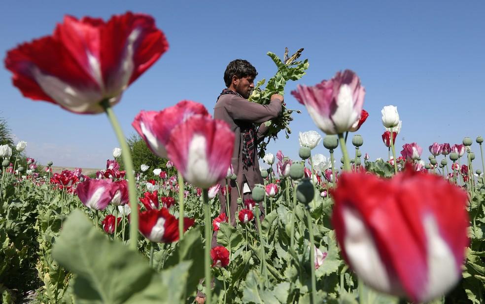 Plantações de papoula ocupam mais de 300 mil hectares no Afeganistão, o maior cultivo do mundo (Foto: AP Photo/Rahmat Gul)