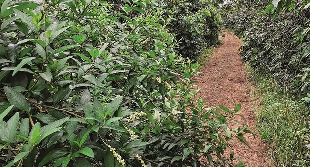 Diversificação de cultivos ajuda a controlar pragas no café