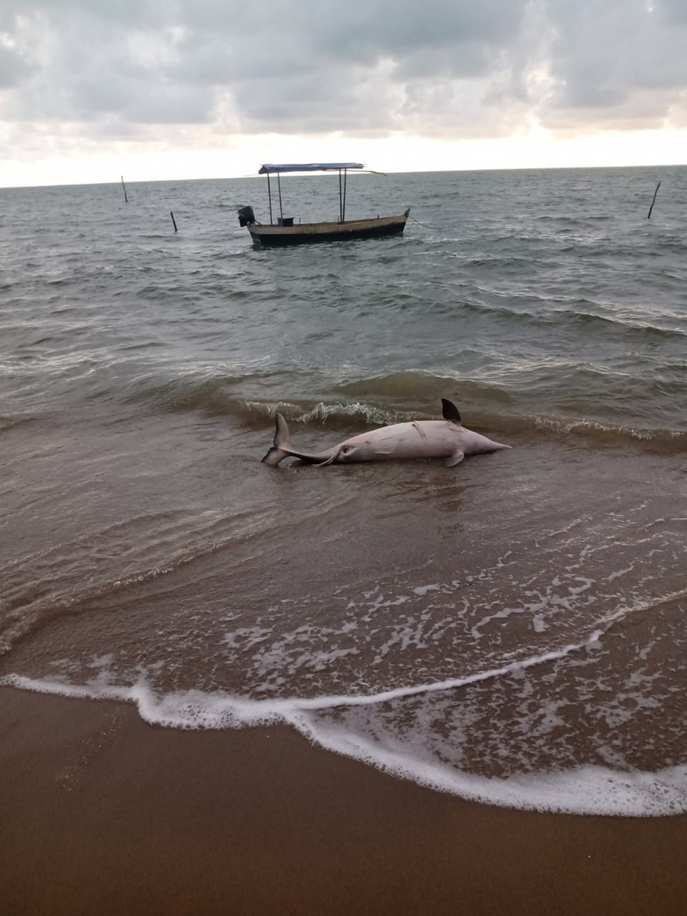 Outro golfinho foi encontrado morto na manhã desta quarta (21) na praia de Porto de Pedras, AL — Foto: Instituto Biota