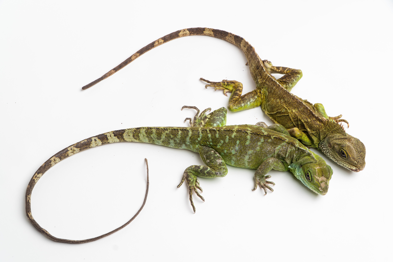 Espécie de lagarto conseguiu gerar filhotes saudáveis (Foto: Divulgação)