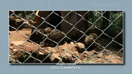 Polícia Ambiental apreende capivaras mantidas em cativeiro em Chopinzinho