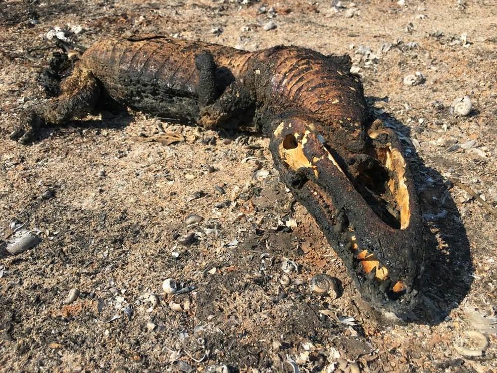 Jacaré, um dos animais símbolos do Pantanal, foi encontrado morto no dia 1° de novembro de 2019 em área onde ocorreu queimada — Foto: Edmar Melo/ TV Morena