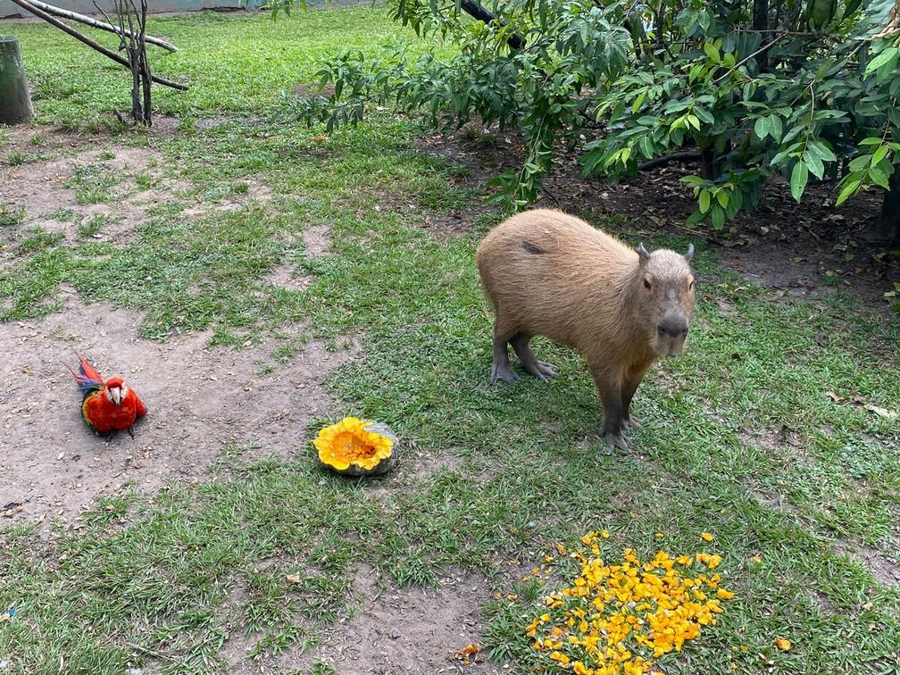 Capivara e Arara dividem alimentos no Bosque dos Papagaios — Foto: Caíque Rodrigues/G1 RR