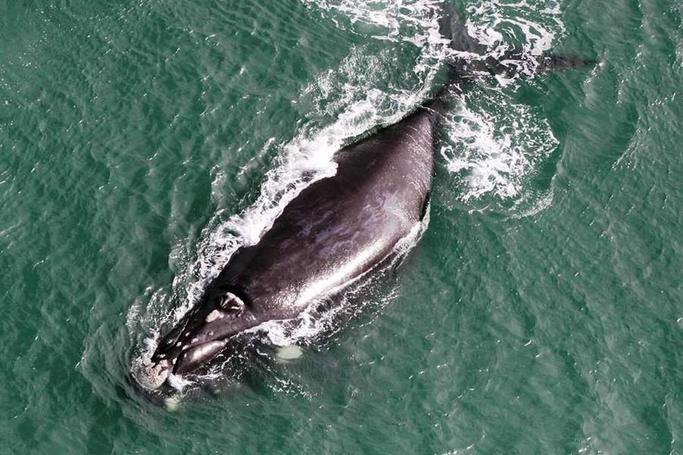 Baleias vêm a SC para dar a luz e cuidar dos filhotes nos primeiros meses de vida  — Foto: Projeto Baleia-Franca/Divulgação