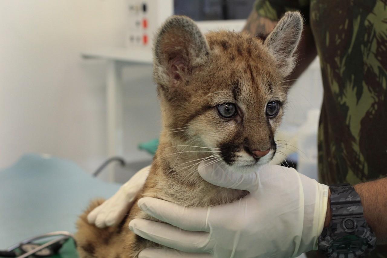 Filhote de onça-parda é a nova moradora do zoo de Cascavel e vai ganhar nome com ajuda de moradores