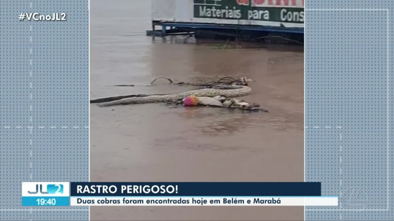 Cobras em encontradas em áreas urbanas da Grande Belém e Marabá