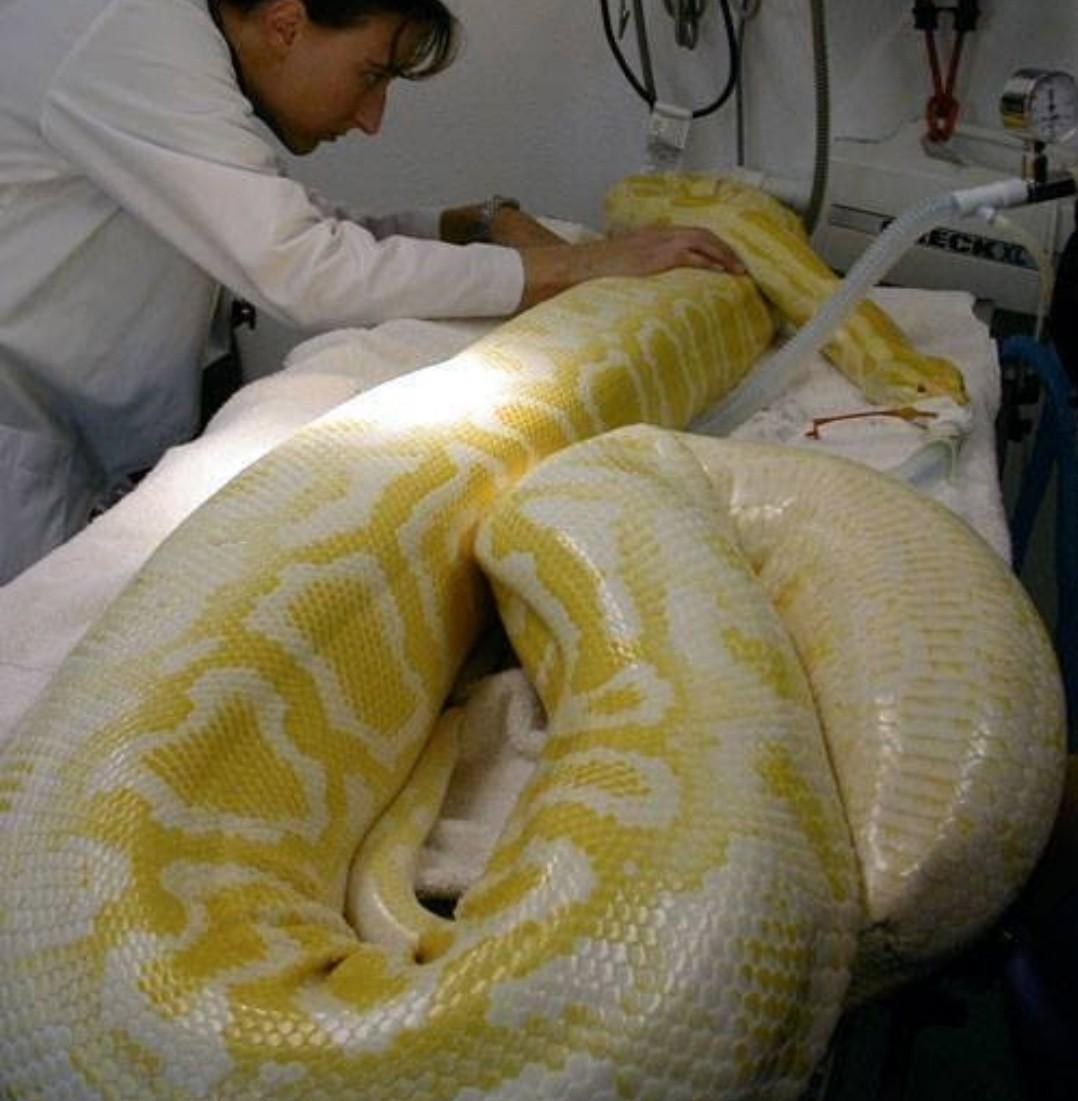 Serpente exótica resgatada no Ceará permanece em tratamento e sem previsão de alta