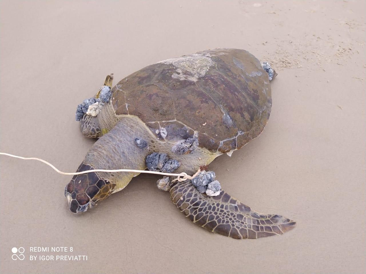Tartaruga-verde é encontrada morta com fio preso na nadadeira em praia de Bertioga, SP