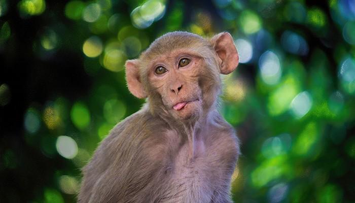 Espécie de macaco rhesus (Foto: Pixabay)