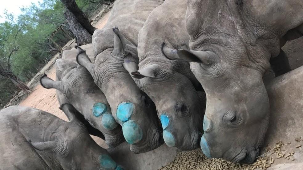 Os cinco filhotes tiveram seus chifres removidos (o azul se deve ao spray antisséptico) para evitar caçadores ilegais (Foto:  Divulgação/Rhino Revolution)