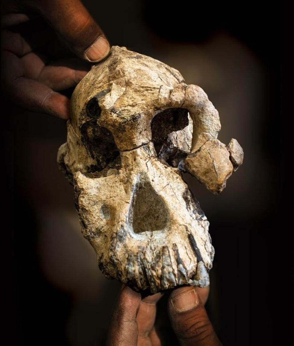 Os Anamensis tinham uma caixa craniana pequena em comparação com o homem moderno — Foto: Divulgação/Museu de História Natural de Cleveland