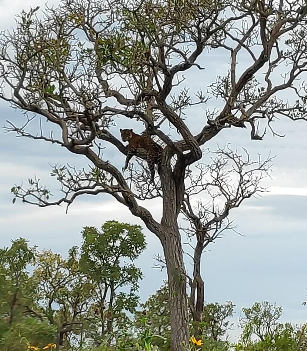 Em pescaria no Pantanal, Gustavo registrou a onça pintada descansando tranquilamente em um galho de árvore — Foto: Gustavo Santos/Arquivo pessoal