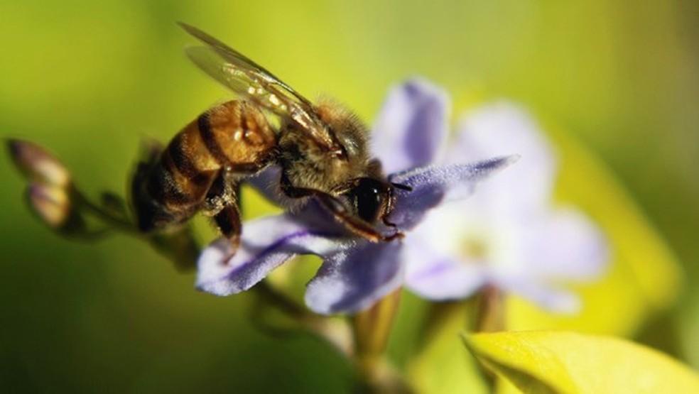 Abelha-européia deu lugar às africanizadas a partir de 1950 nas cidades catarinenses: mel com mais nutrientes — Foto: Arquivo TG