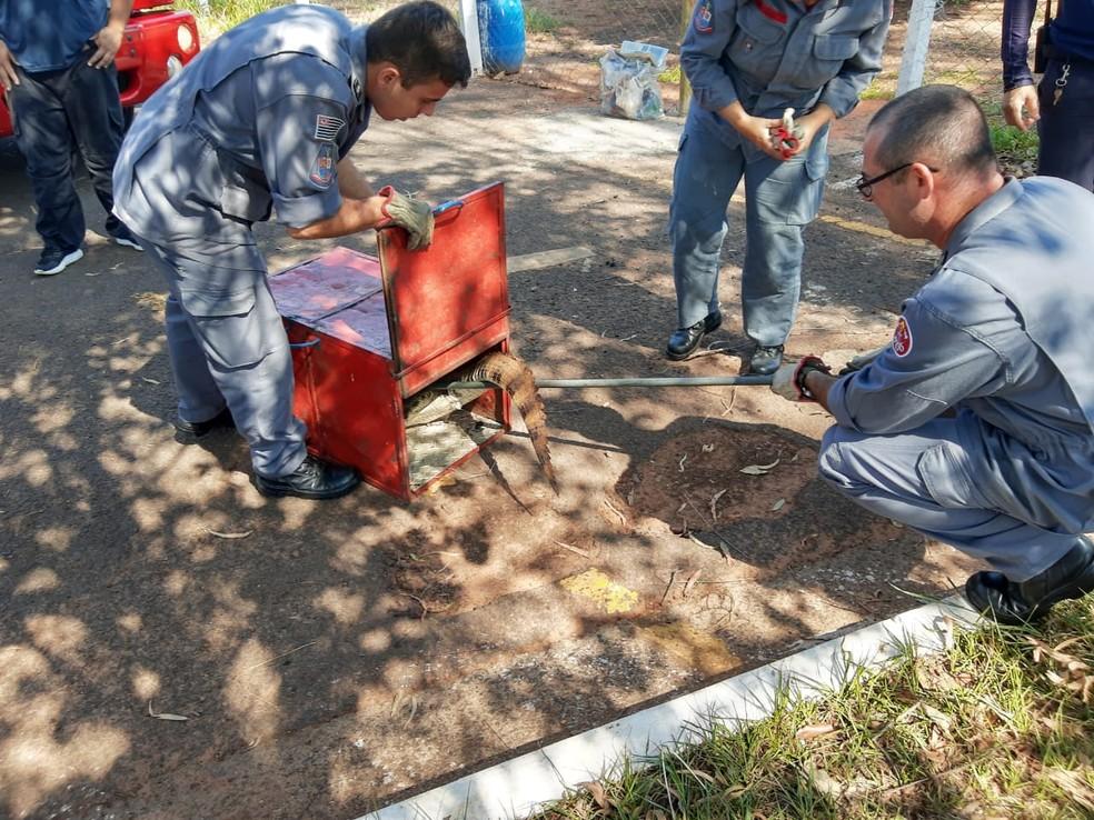 Jacaré foi capturado nesta segunda-feira (25) em Osvaldo Cruz — Foto: Corpo de Bombeiros