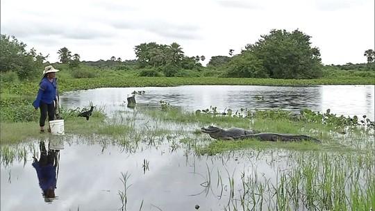 Conheça a 'encantadora de jacarés' do Pantanal mato-grossense