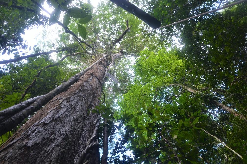 Arvores na floresta amazônica no Amapá — Foto: Rafael Aleixo/Setec/Divulgação