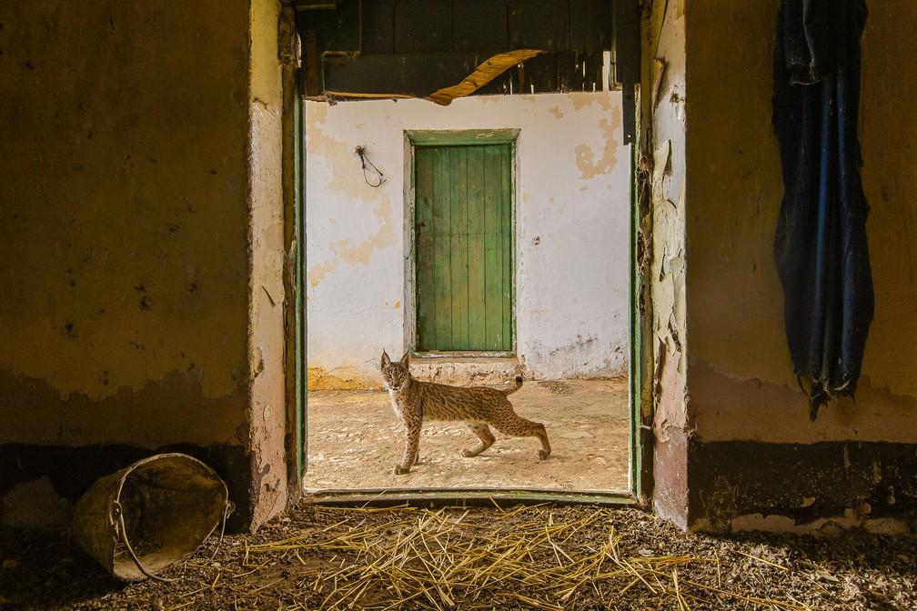 'Lince na soleira', por Sergio Marijuán, Espanha. Lince-ibérico para na porta de um palheiro abandonado em uma fazenda no leste de Sierra Morena, na Espanha — Foto: Sergio Marijuán/Wildlife Photographer of the Year