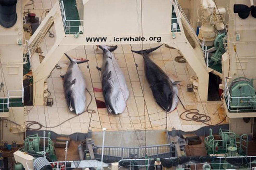 Imagem feita pelo braço australiano da ONG Sea Shepherd mostra três exemplares de baleia Minke capturados pelo navio japonês Nisshin Maru (Foto: Tim Watters/Sea Shepherd/AFP)