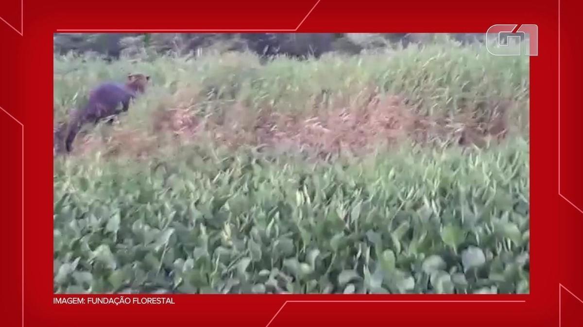 Parque Estadual do Morro do Diabo em Teodoro Sampaio estima abrigar de 20 a 30 onças-pintadas e pardas; veja VÍDEO thumbnail