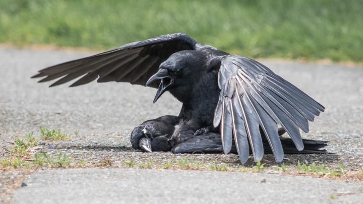 Corvo atacando outra ave da espécie (Foto: Reprodução/KAELI SWIFT)