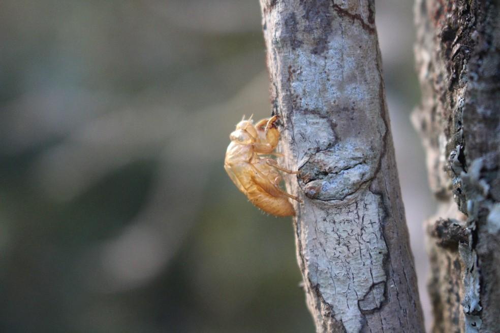 Exúvia, casca da cigarra presa em tronco de árvore (Foto: Marília Marques/G1)