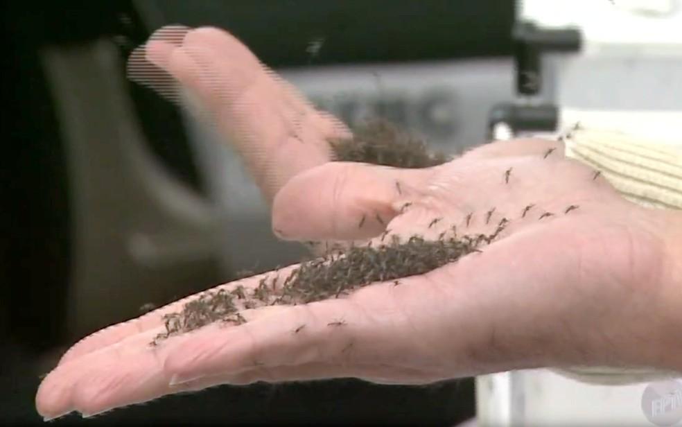 Mosquitos transgênicos 'Aedes do Bem' foram soltos na região central de Piracicaba em 2015 (Foto: Reprodução/EPTV)