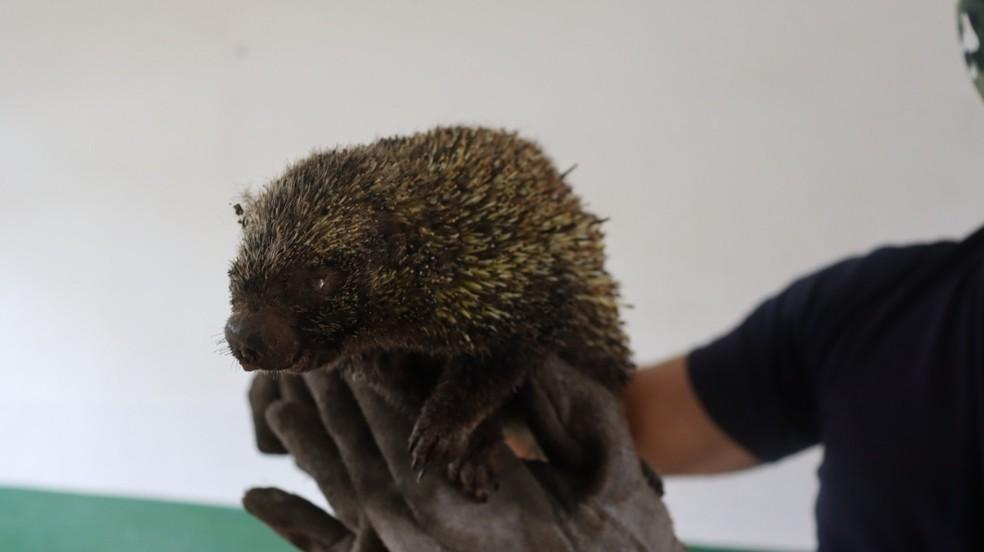 Ouriço vítima de queimada foi resgatado na manhã desta segunda-feira (30) na Serra do Japi — Foto: Divulgação