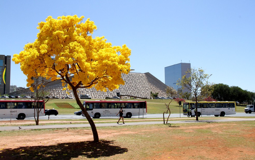 Ipê nas proximidades do Teatro Nacional de Brasília (Foto: Vianey Bentes/TV Globo)
