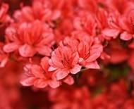 Azálea: a flor ideal para ambientes internos e externos