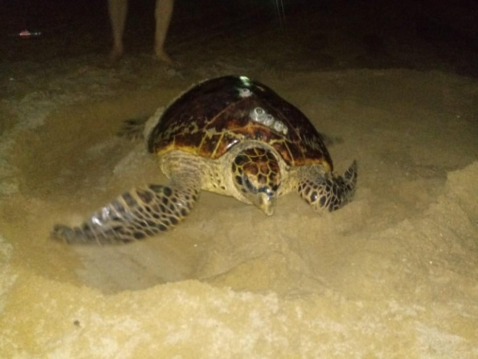 Tartaruga-de-pente foi flagrada colocando ovos na praia de Piedade, em Jaboatão dos Guararapes, na quarta-feira (6) — Foto: Adriano Artoni/Secretaria de Meio Ambiente de Jaboatão