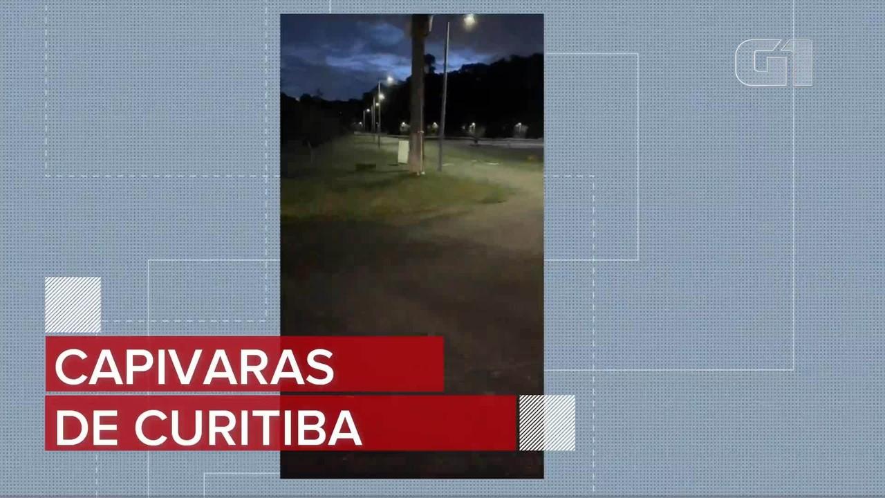 Capivaras atravessam na faixa de pedestre, em Curitiba