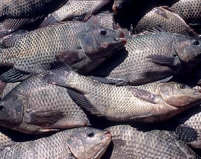 Protocolo inédito visa promover bem-estar animal na criação de tilápias