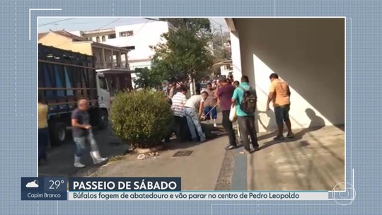 Búfalos fogem de abatedouro e vão parar no centro de Pedro Leopoldo
