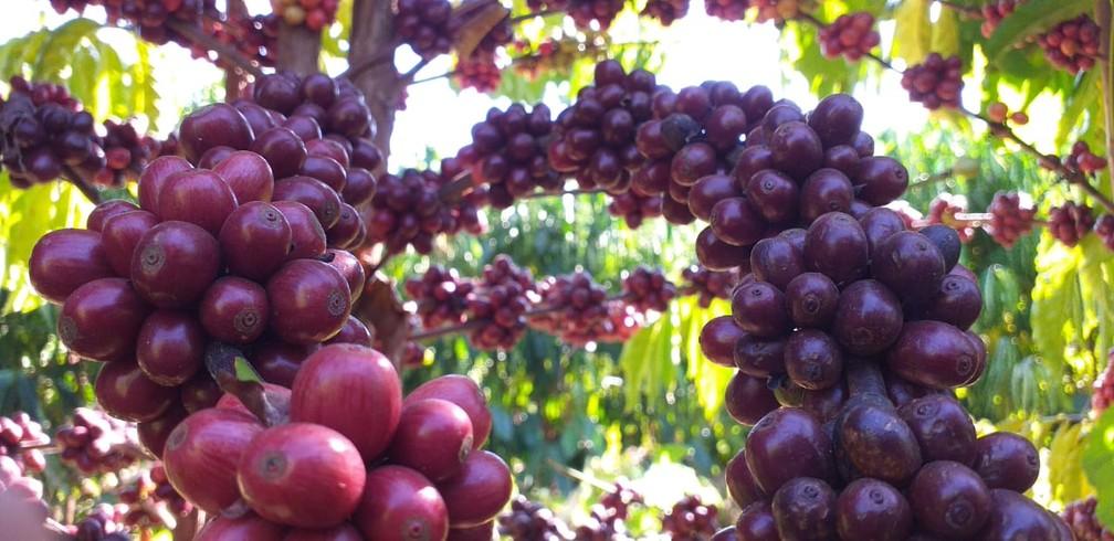 Segundo Emater, expectativa é de crescimento de áreas plantadas em Vilhena  — Foto: Maciel Lemos/Emater