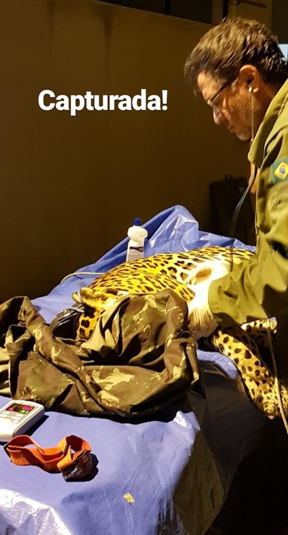 Onça-pintada foi capturada na noite de domingo (12) no Jardim Botânico, em Juiz de Fora — Foto: Reprodução/Facebook