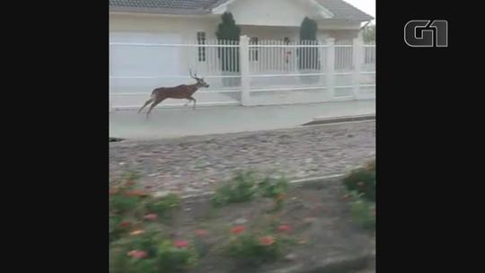 Patrulha Ambiental procura cervo que foi visto solto na praia de Rainha do Mar em Xangri-Lá