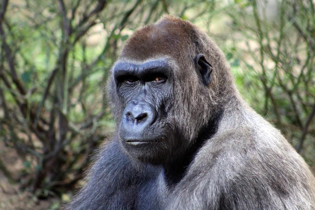 Gorilas são ameaçados por caçadores no Congo (Foto: Melissa Major/Pixabay)