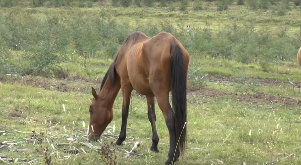 """Égua desnutrida filmada por ativistas em """"fazendas de sangue"""" (Foto: Animal Welfarm Foundation)"""