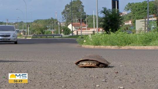Equipe da TV Morena flagra tartaruga no asfalto de Campo Grande