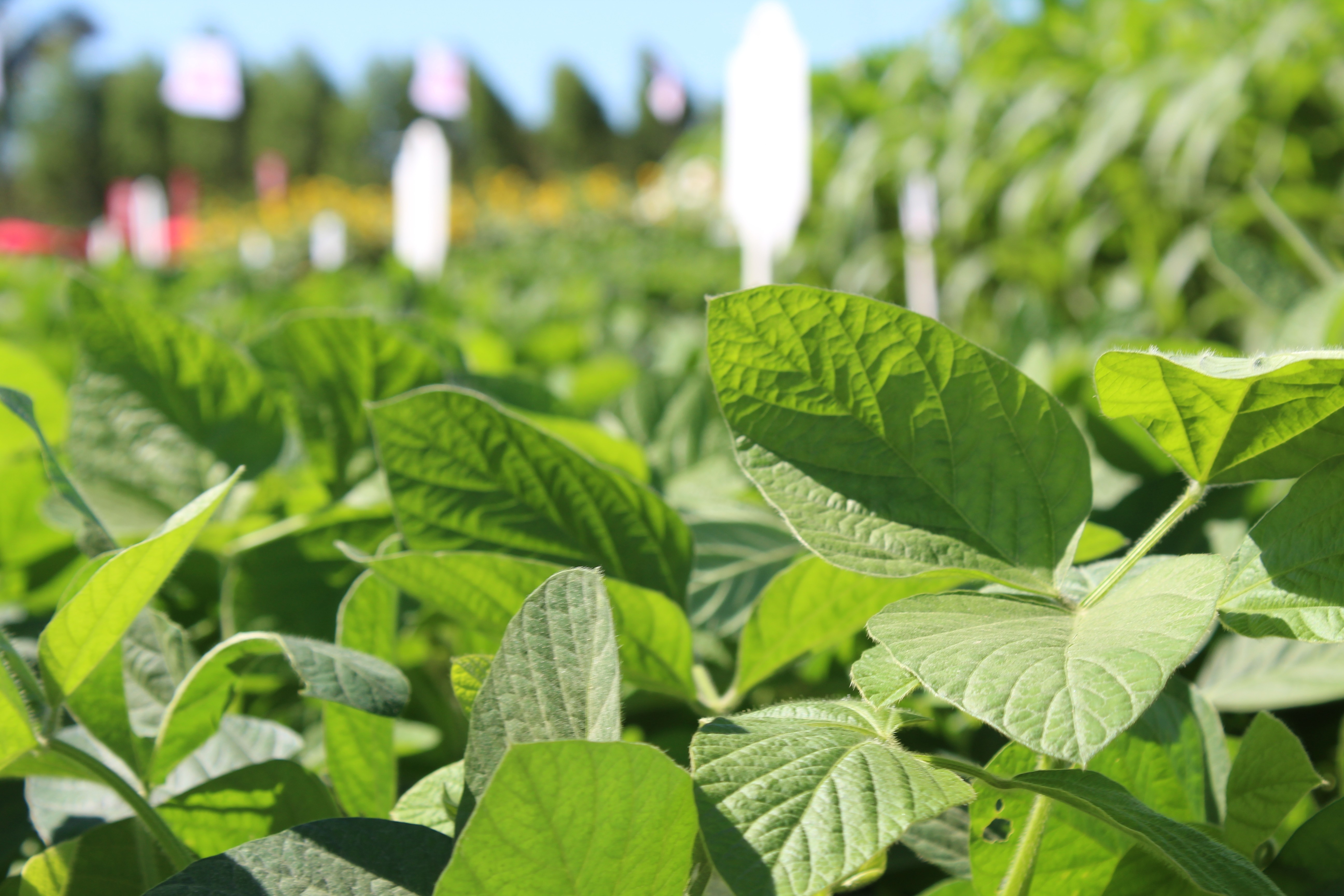 Céleres corta previsão para safra de soja a 117,2 milhões de toneladas por tempo seco - Noticias