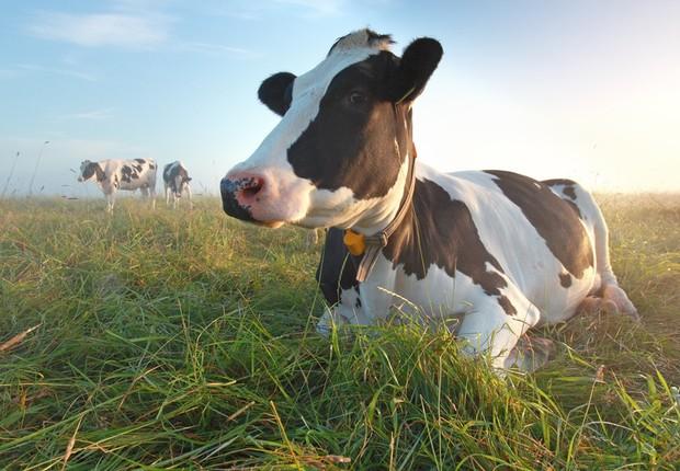 Nestlé implementa sensor que monitora bem-estar das vacas produtoras de leite orgânico (Foto: Shutterstock)