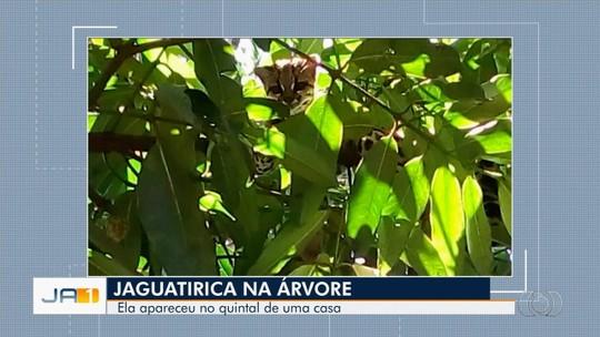 Jaguatirica é encontrada em quintal de casa em Quirinópolis